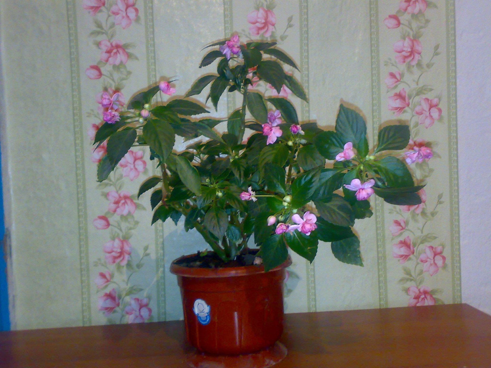 комнатные цветы фото бальзамин: