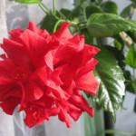 Как укоренить китайскую розу?