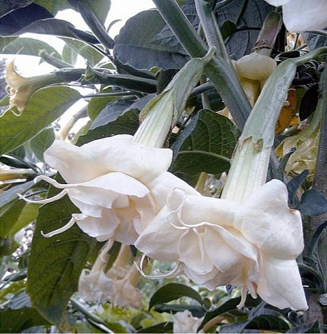 Растение бругмансия.
