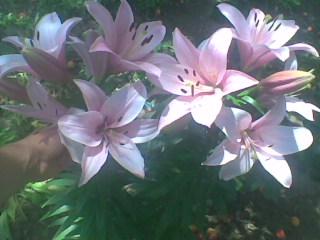 Лилии размножение семенами.