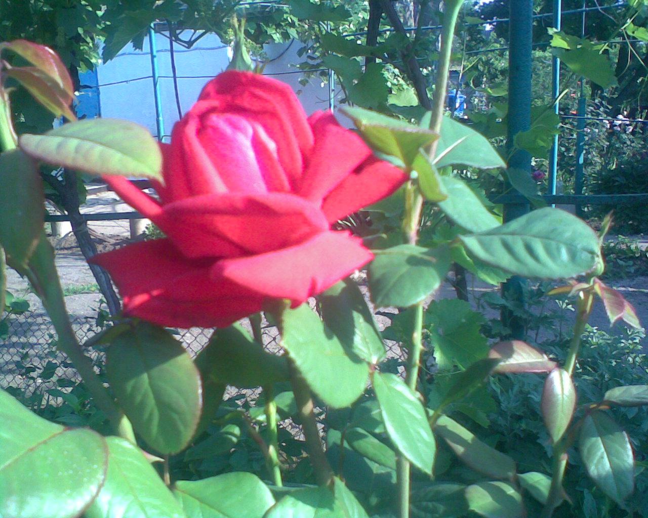 Уход за цветами розами