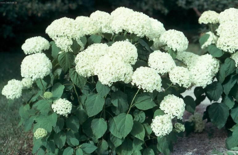 Цветок гортензия садовая как ухаживать