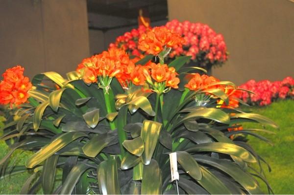Домашние цветы кливия красивое