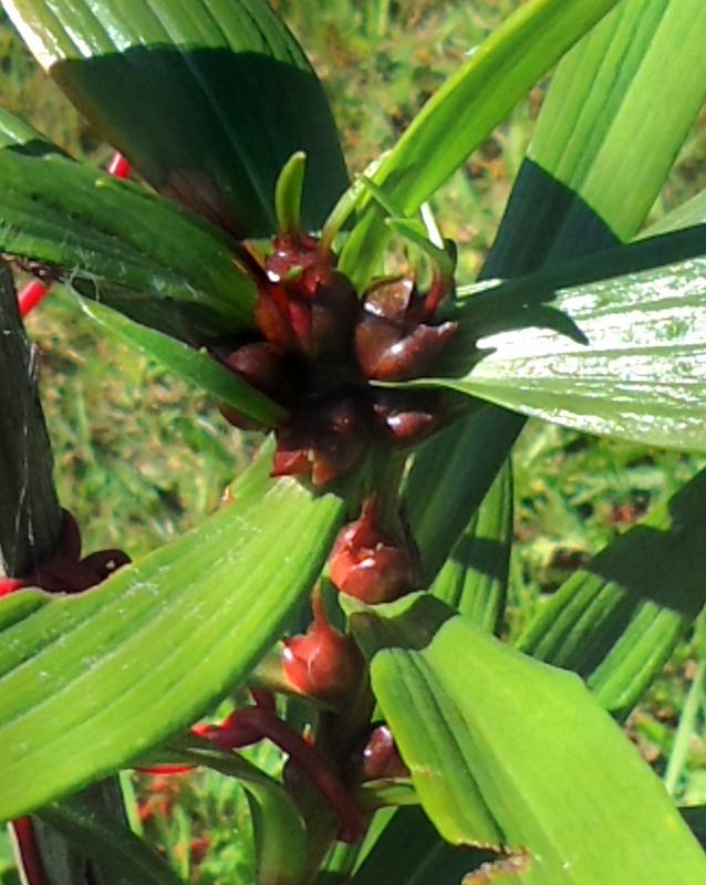 Как бульбочками размножить лилию
