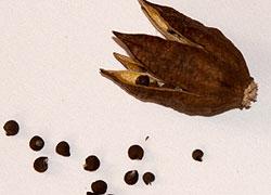 Как выглядят семена гортензии
