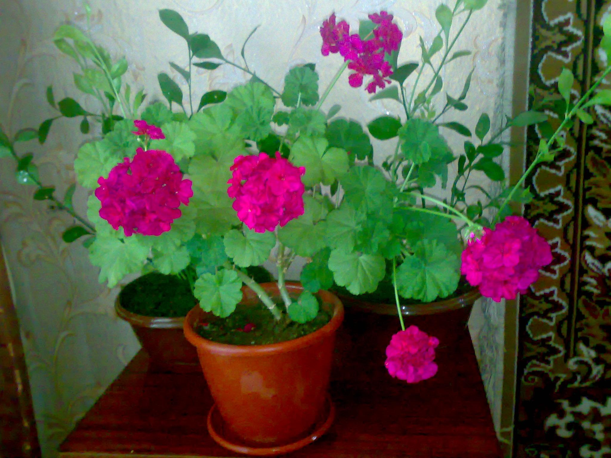 домашние цветы уход