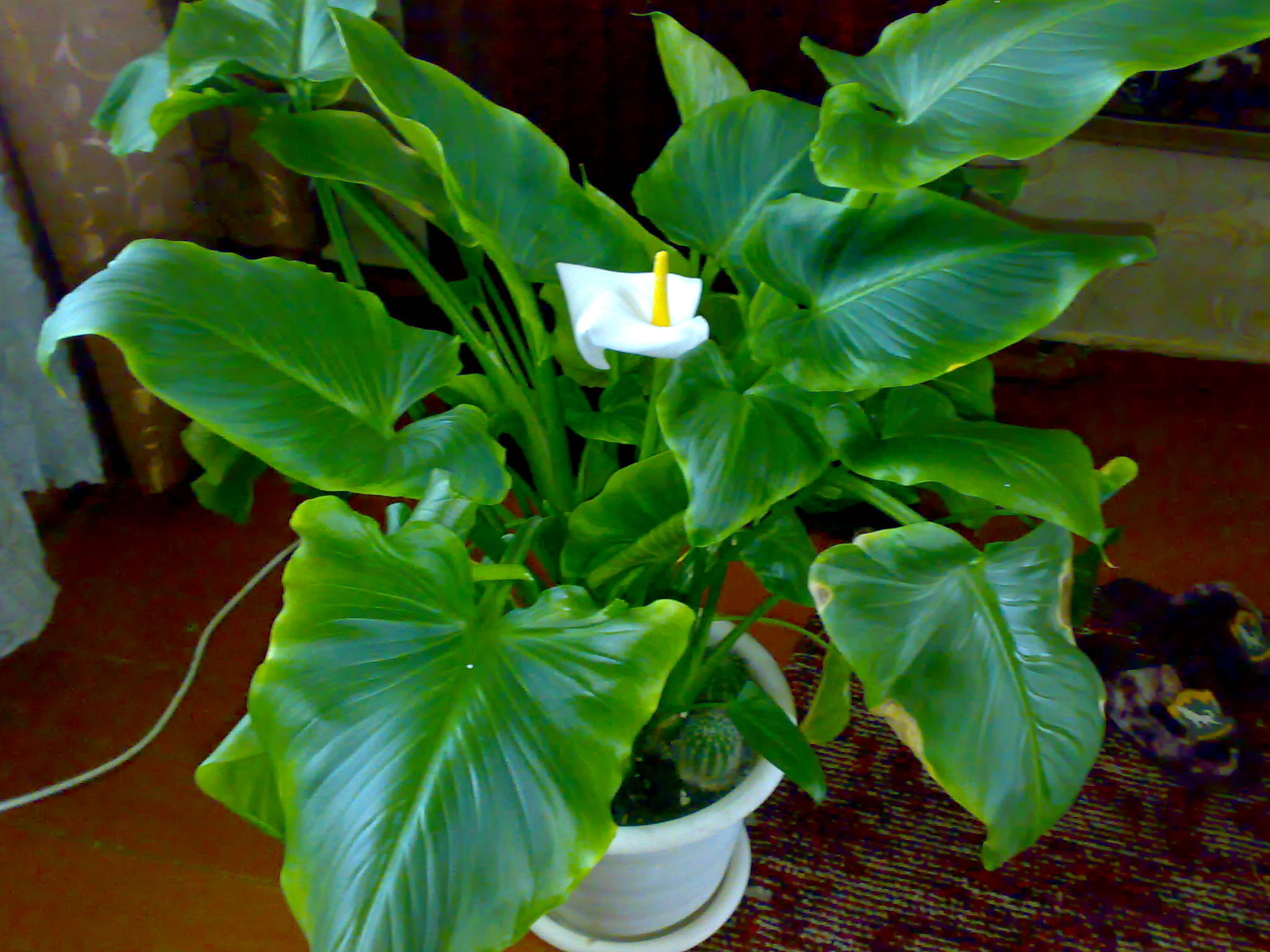 Комнатные растения калла фото уход в домашних условиях