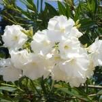 Домашние цветы олеандр.