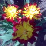 Когда сажать луковичные цветы?