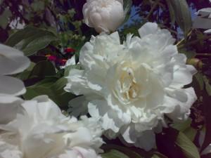 Пионы - прекрасные цветы