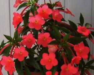 Комнатные цветы ахименес