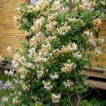 Жимолость декоративная растение с изящными кружевами листвы.