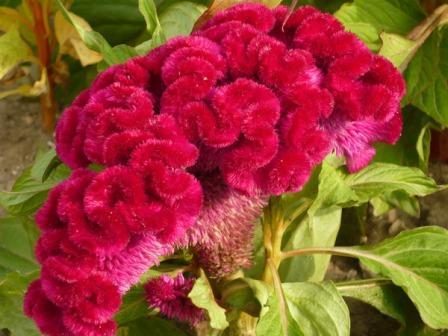 Цветок целозия гребенчатая -посадка и уход 85