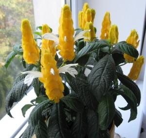 цветы пахистахис