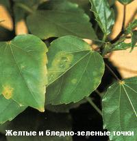 blednozelenye_tochki-3