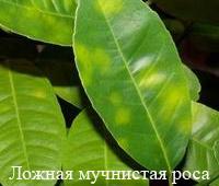 muchnistaja_rosa-5