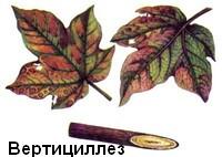 verticilez-2