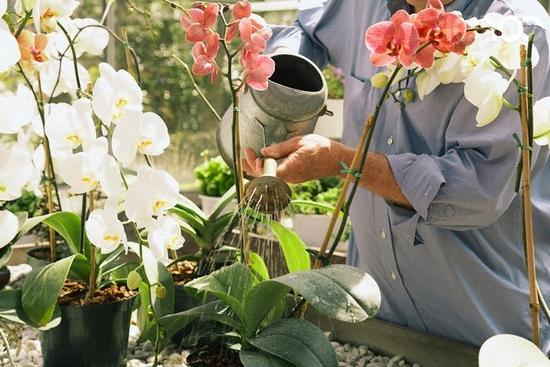Уход за домашними орхидеями (фаленопсис).