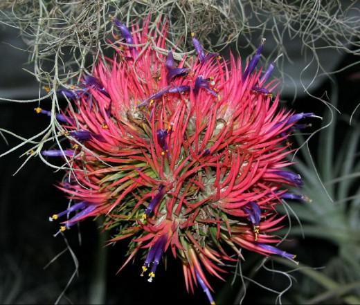 тилландсия фиалкоцветковая