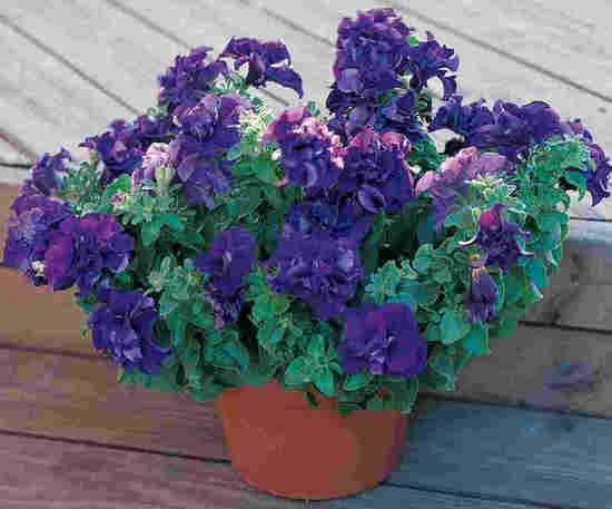 PETUNIA DOUBLE CASCADE BLUE POT croped 2