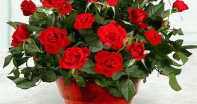 Как ухаживать за комнатной розой в домашних условиях?